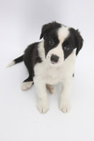 Border Collie Sitting Photographic Print by Mark Taylor