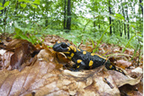 European - Fire Salamander (Salamandra Salamandra) on Fallen Leaves, Male Morske Oko, Slovakia Photographic Print by  Wothe