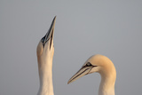 Gannets (Morus Bassanus) Pair, Saltee Islands, County Wexford, Ireland, June 2009 Photographic Print by Hermansen