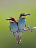 European Bee-Eater (Merops Apiaster) Pair Perched, Pusztaszer, Hungary, May 2008 Photographic Print by Varesvuo