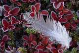 Willow Grouse (Lagopus Lagopus) Feather on Mountain Bearberry with Frost, Sarek Np, Lapland, Sweden Photographie par  Cairns