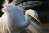 Great Egret (Ardea Alba) Pusztaszer, Hungary, May Photographic Print by  Varesvuo