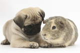 Fawn Pug Puppy, 8 Weeks, and Guinea Pig Photographic Print by Mark Taylor