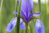Close-Up of Siberian Iris (Iris Sibirica) Flower, Eastern Slovakia, Europe, June 2009 Photographic Print by  Wothe