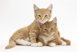 Two Ginger Kittens, Lounging Together Photographic Print by Mark Taylor