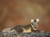 Arctic Fox (Vulpes Lagopus) Lying on Rock, Disko Bay, Greenland, August 2009 Photographic Print by  Jensen