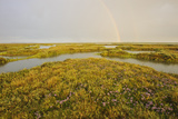 Common Sea Lavender (Limonium Vulgare) and Sea Purslane on Saltmarsh Habitat with Rainbow, Essex,Uk Photographic Print by Terry Whittaker
