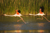 Two Greater Flamingos (Phoenicopterus Roseus) Taking Off from Lagoon, Camargue, France, May 2009 Photographic Print by  Allofs