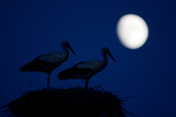 White Stork (Ciconia Ciconia) Pair at Nest, Dusk, with Moon, Nemunas Delta, Lithuania, June 2009 Photographic Print by  Hamblin