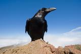Common Raven (Corvus Corax) Perched on Rock, La Caldera De Taburiente Np, La Palma, Canary Islands Photographic Print by  Relanzón
