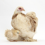 Bantam Hen and Frizzle Feather Chicken Chick Photographic Print by Mark Taylor
