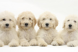 Four Labradoodle Puppies, 9 Weeks Photographic Print by Mark Taylor
