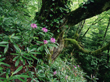 Flowering Rhododendron in Old Growth Forest, Borjomi Kharagauli National Park, Georgia, May 2008 Photographic Print by  Popp