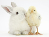 White Rabbit and Yellow Bantam Chick Photographic Print by Mark Taylor