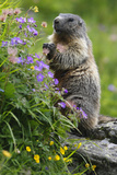 Alpine Marmot (Marmota Marmota) Standing on Hind Legs Feeding on Flowers, Hohe Tauern Np, Austria Photographic Print by  Lesniewski