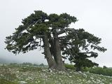 Bosnian Pine (Pinus Leucodermis) Trees, Pollino National Park, Basilicata, Italy, May 2009 Photographic Print by  Müller