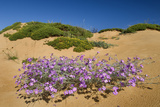 Malcolmia Littoreain Flower on Sand Dune, Np of South West Alentejano and Costa Vicentina, Portugal Photographic Print by  Quinta