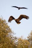White Tailed Sea Eagle (Haliaeetus Albicilla) in Flight, Black Stork (Ciconia Nigra) Above, Germany Photographic Print by  Damschen