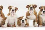Five Bulldog Puppies in Line, 11 Weeks Photographic Print by Mark Taylor
