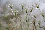 Raindrops on Ovate Goat Grass (Aegilops Geniculata) Monte Titano, San Marino, May 2009 Photographic Print by  Möllers