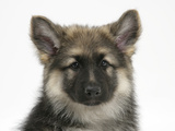 German Shepherd Dog Bitch Puppy, Echo Photographic Print by Mark Taylor