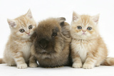 Two Ginger Kittens with Lionhead Rabbit Photographic Print by Mark Taylor