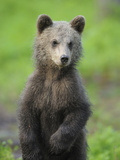 Eurasian Brown Bear (Ursus Arctos) Cub Portrait, Suomussalmi, Finland, July 2008 Photographic Print by  Widstrand