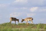 Male Saiga Antelopes (Saiga Tatarica) Cherniye Zemli Nature Reserve, Kalmykia, Russia, May Photographic Print by  Shpilenok