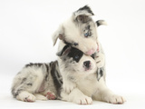 Merle Border Collie Puppies Playing Photographic Print by Mark Taylor