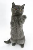 Grey Kitten Reaching Up Photographic PrintMark Taylor
