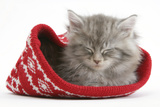 Maine Coon Kitten Asleep in a Christmas Hat Photographic Print by Mark Taylor