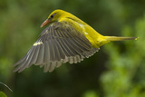 Golden Oriole (Oriolus Oriolus) Female in Flight to Nest, Bulgaria, May 2008 Photographic Print by  Nill