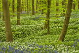 Wild Garlic and Bluebell Carpet in Beech Wood, Hallerbos, Belgium Photographic Print by  Biancarelli