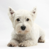 West Highland White Terrier Lying Reprodukcja zdjęcia autor Mark Taylor