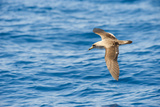 Cory's Shearwater (Calonectris Diomedea) in Flight over Sea, Canary Islands, May 2009 Photographic Print by Relanzón