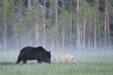 European Grey Wolf (Canis Lupus) Interacting with European Brown Bear (Ursus Arctos) Kuhmo, Finland Fotografiskt tryck av  Widstrand