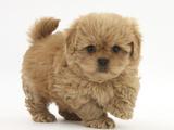 Peekapoo (Pekingese X Poodle) Puppy, 7 Weeks Photographic Print by Mark Taylor