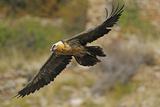 Lammergeier (Gypaetus Barbatus) in Flight, Serra De Beumort, Gerri De La Sal, Catalonia, Spain Papier Photo par  Elander