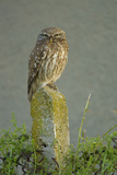 Little Owl (Athene Noctua) Perched on Post, Bulgaria, May 2008 Photographic Print by  Nill