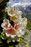 Caucasian Rhododendron (Rhododendron Caucasium) with Mount Elbrus in the Distance, Caucasus, Russia Photographic Print by  Schandy