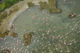 Aerial View of European Flamingo Flock in Flight, Bahía De Cádiz Np, Cádiz, Andalusia, Spain Photographic Print by  López