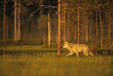 European Grey Wolf (Canis Lupus) Walking, Kuhmo, Finland, July 2009 Photographic Print by  Widstrand
