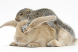 Young Grey Squirrel and Sandy Rabbit Photographic Print by Mark Taylor