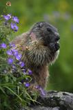 Alpine Marmot (Marmota Marmota) Feeding on Flowers, Hohe Tauern National Park, Austria, July 2008 Photographic Print by  Lesniewski