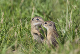Two Young European Sousliks (Spermophilus Citellus) Touching Noses, Eastern Slovakia, Europe Photographic Print by  Wothe