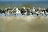 Sanderling (Calidris Alba) Flock Roosting, Böhl, Germany, April 2009 Photographic Print by  Novák