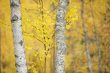 Birch Trees (Betula Verrucosa or Pubescens) Oulanka, Finland, September 2008 Photographie par  Widstrand
