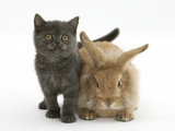 Grey Kitten and Sandy Lionhead Rabbit Photographic Print by Mark Taylor