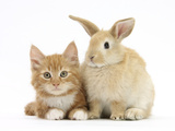 Ginger Kitten and Young Sandy Lop Rabbit Photographic Print by Mark Taylor