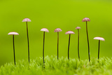 Horse Hair Parachute Mushrooms (Marasmius Androsacaceus) Belarus, June 2009 Photographic Print by  Máté